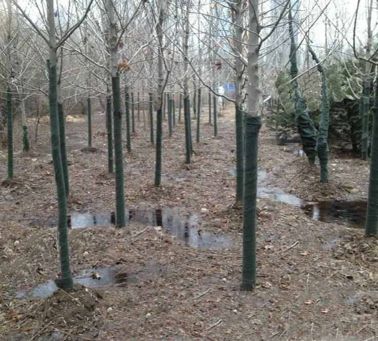 近期树木防寒带价格/树木防寒带规格/树木防寒带厂家齐全 绿色纤维树木养护带,用于新移栽树木缠绕树茎养护的专利新产品,具有以下优点:(1)操作简便快捷:比传统草绳麻片绕缠的效率提高6倍以上,人均每天可创利481元;(2)保湿保暖:绿色纤维树木养护带以动植物或化纤纤维织造而成,厚度为2.
