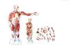 KAH/XC33480CM人体肌肉模型 27件