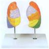 GD/A13010肺段模型