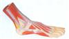 GD/A11311足底解剖模型